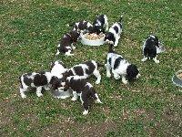 Štěňata Uliany a Rendy v roce 2008 - společný oběd (št. Rendy nar. 18.2.2008 Dandy,Dagris,Dargus a Diana, št. Uliany nar. 3.3.2008 - Ebony,Egon,Endy,Ergus,Exy a Ebigeil)
