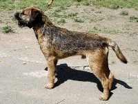 Borek Ostrý lovec- chovný pes
