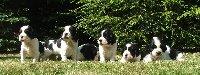 Štěňátka z minulého vrhu Borči a Archieho - všechna černobílá a dvě holčičky s pálením.