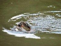 I jezevčík Bars z Hustopečských rybníků se nenechal zahanbit a kachnu z vody vynesl!