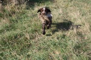 Jumbo (Ben) působí jako lovecký pes na Slovensku. Je vášnivý aportér.
