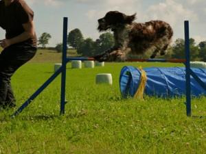 Ebigeil skáče agility.