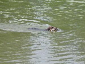 Jerry plave z kachnou.