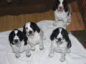 Fenečky téměř sedm týdnů. Černobílé Oriana, Ornella a Orika, hnědobílá Orsana.