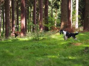 První odvážný pes Hubert, k divočákovi došel po našlapané stopě.