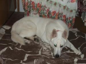 Hachi - úžasný, inteligentní a něžný švýcarský bílý ovčák.