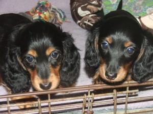Ája a Ajka jsou roztomilé malé slečny. Foto téměř v osmi týdnech.
