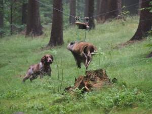 Nejodvážnější a nejlepší pes v práci na prase Štěpínu - Arhie Egon Rex (Chira z Větrné paseky x Grot z Wiedizckeho parku)