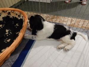 Sweník zkoumá svůj pelíšek v novém domově.