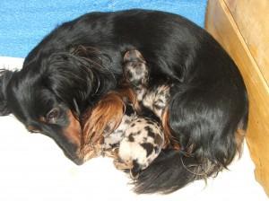 Wega je pečlivá matka a velmi dobře si miminka hlídá.