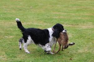 Borec na konec - přinášení těžkého zajíce - vítěz Hubert.