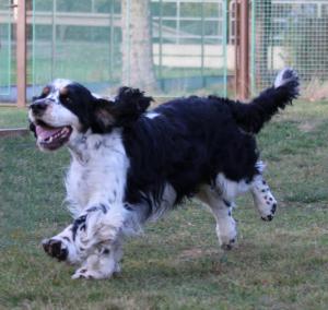 Vybraný ženich pro Reishu - Argo z Kotelského lesa. Pes vynikající povahy, milý, lovecky vedený a krásný.