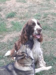 Náš Rambo je taktéž oblíbenec fenek, které hlídáme. Kira, kříženka huskyho a chodského psa, se asi do něj zamilovala....aspoň to tak vypadá.