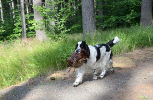 Práce v lese - Scotty nese pernatou.