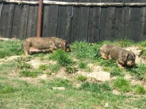 Mámy feny se mezitím pasou na trávě.