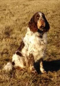 Loki z Jindřichovských luk je kus psa, ale ještě má čas na zkoušky. Je to mladý puberťák, ale příští rok už to bude velmi šikovný lovecký pes.