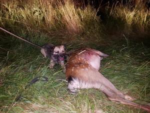 Kora Ostrý lovec je vynikající lovecká fenka. Má za sebou hodně dosledů.