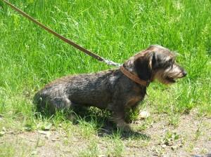Dante je nadějný roční lovecký pes i exteriérově krásný pes.