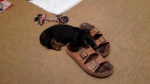 Doubravka (Linduška) nejlépe odpočívá u pantoflí, kde svého pána nejlépe cítí.