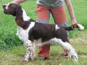 Rambo della Giuliana - chovný pes /stud dog - senior