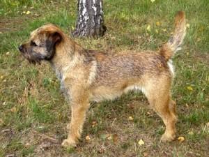 Carda Ostrý lovec - chovný pes, výborný, CAC, ZV I.c.